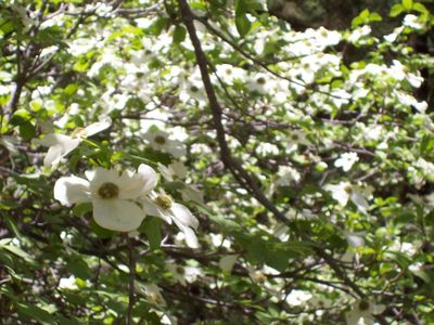 Blooming_dogwoods