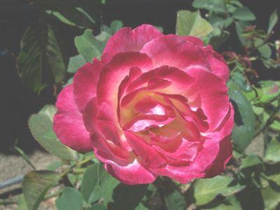 Hot_pink_rose